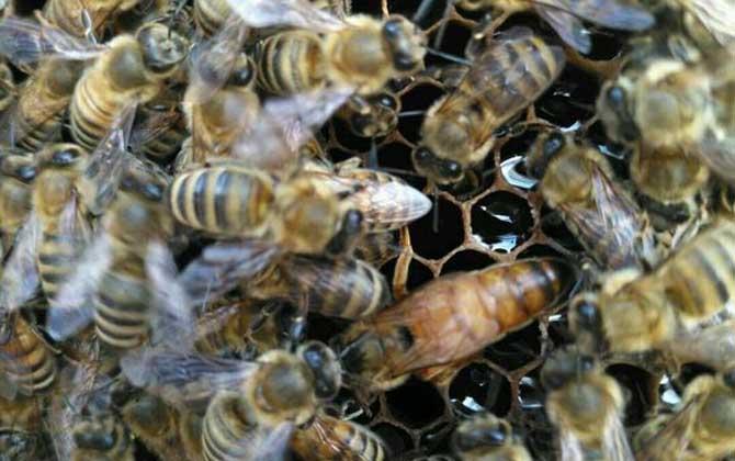 意大利蜜蜂的春季管理与繁殖(意蜂春繁技术管理诀窍)