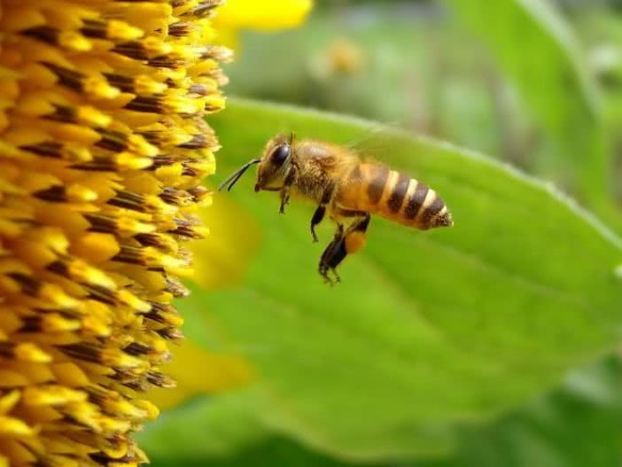 中华蜜蜂养殖技术雄蜂多怎么办(雄蜂大量增加是什么原因?)