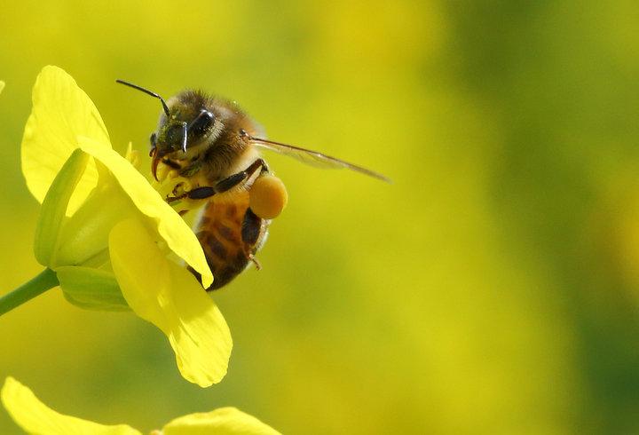 养殖中华蜜蜂的雷区有哪些(要把中蜂养好必须注意的十大事项)