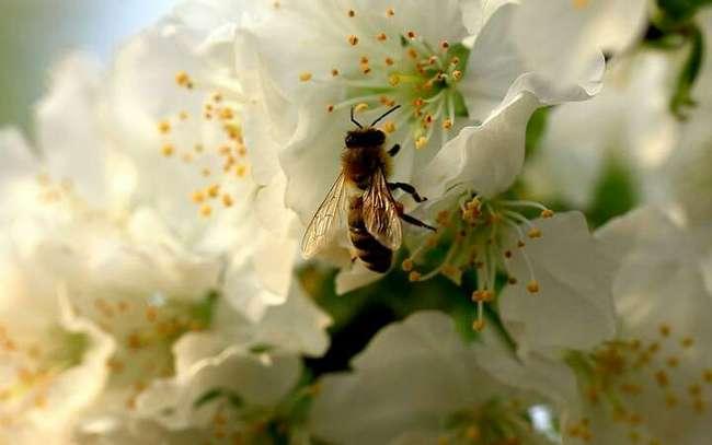 中华蜜蜂很难养殖是吗(中蜂不好养的五大原因)