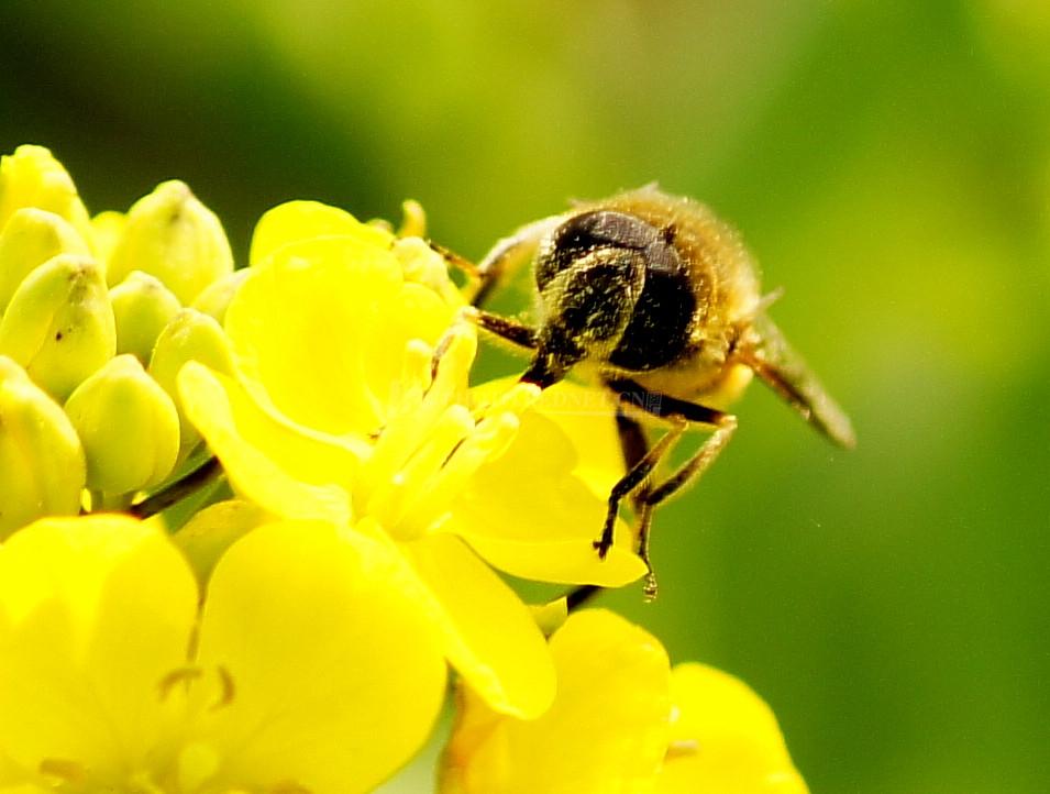 中华蜜蜂一年取几次蜜(多次取蜜对蜜蜂有什么危害)