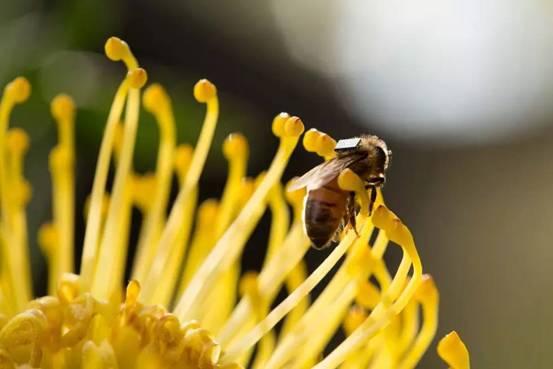 中华蜜蜂的活动范围(中蜂活动范围的区别)
