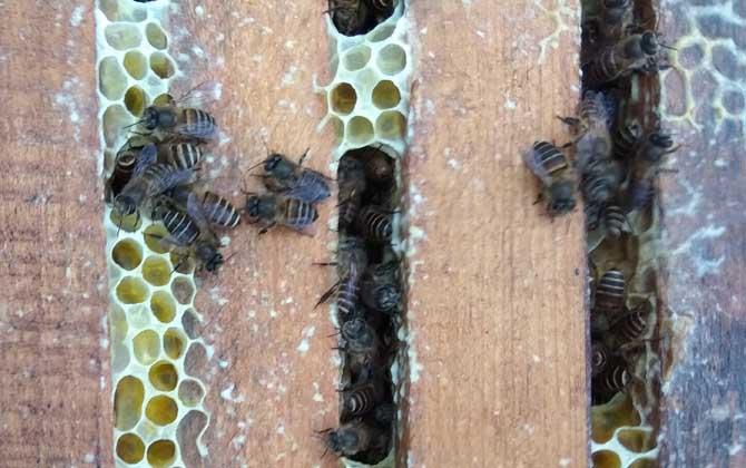 中华蜜蜂脾要多少钱一箱(中华蜜蜂一箱多少蜂脾)