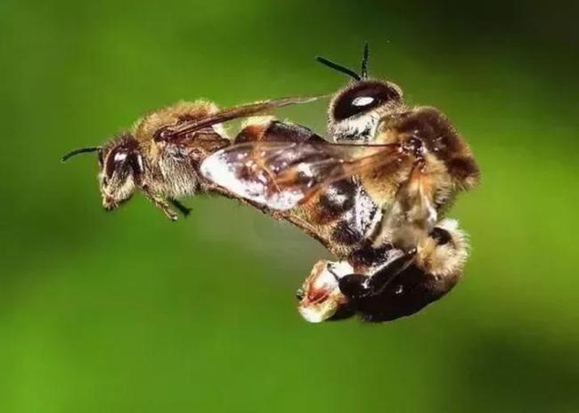 中华蜜蜂养多少框蜂最合适(中蜂饲养几框的蜂量适合)