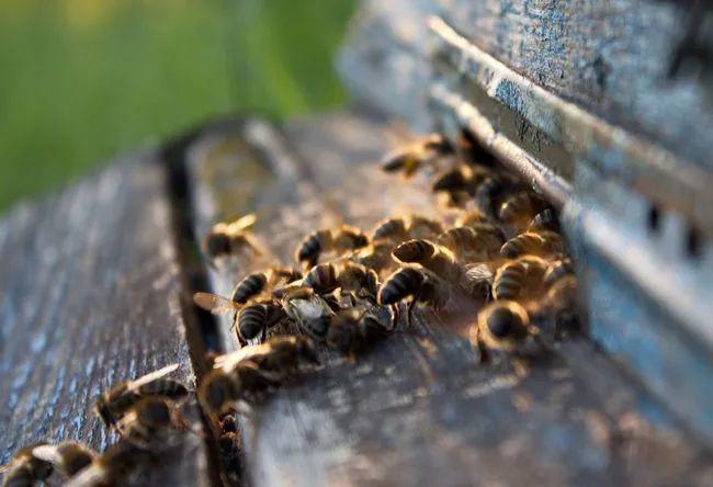 中华蜜蜂蜂王一般多少钱一只(正宗阿坝中蜂蜂王多少钱一只?)