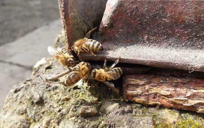 中华蜜蜂会主动攻击人吗(中华蜜蜂温和么?)
