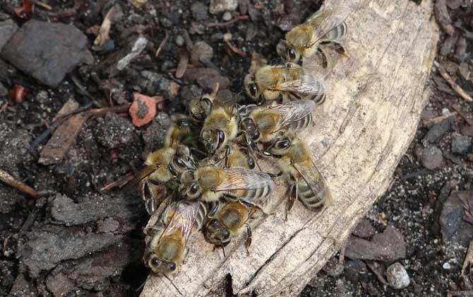 病毒灵能治中华蜜蜂什么病(病毒灵治中蜂的剂量是多少?)