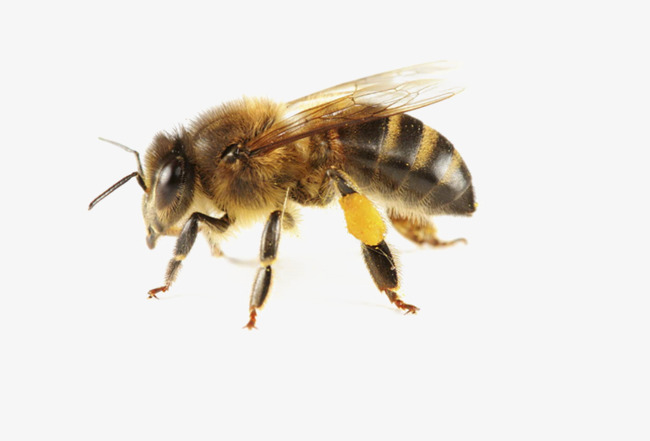 北方中华蜜蜂太少能过完冬吗(蜜蜂冬天怎么过冬的)