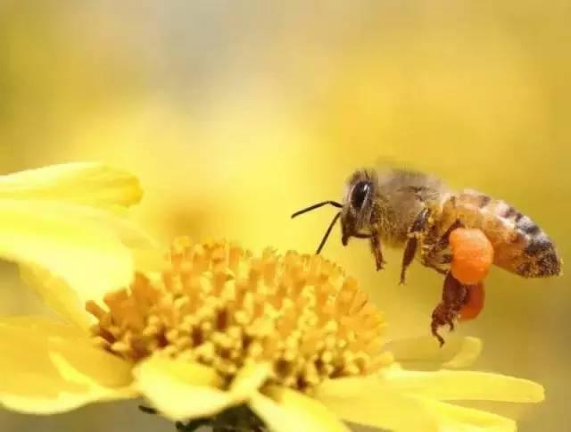 中华蜜蜂能取花粉吗(中蜂能人工收集花粉吗?)