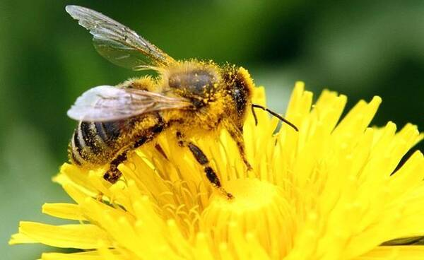 吃中华蜜蜂的马蜂有哪些(哪些马蜂对中蜂的危害大)