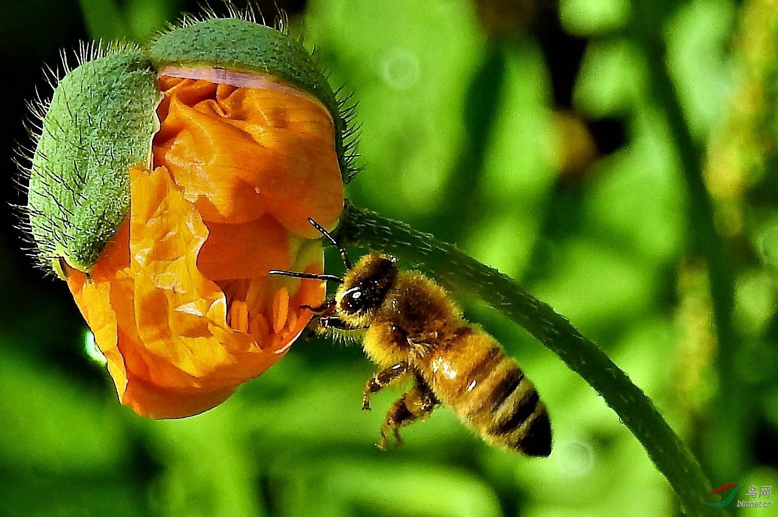 中华蜜蜂可以采茶叶吗(中华蜜蜂采茶叶会中毒么?)