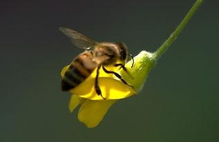 中华蜜蜂几月份冬眠(中蜂几月份准备过冬?)