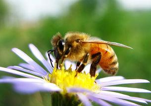 中华蜜蜂蛰的过敏反应(被蜜蜂蛰到哪些反应是过敏)