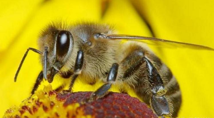 中华蜜蜂一年生产多少蜂蜜(中蜂的蜂蜜产量是多少)