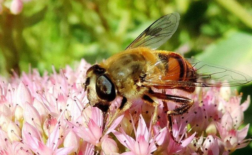 中华蜜蜂采的蜜好吗(中蜂蜂蜜和意蜂蜂蜜对比)