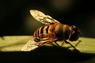 如何让就近的中华蜜蜂搬家(蜂群的近距离搬移怎么操作?)
