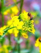 中华蜜蜂养殖入门实用技术(中华蜜蜂怎么养殖)