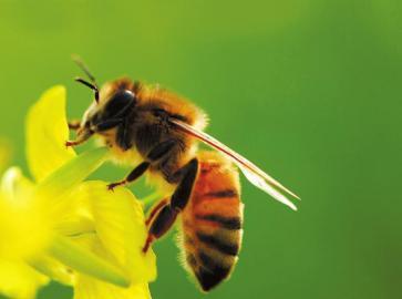 意大利蜜蜂蜂蜜怎么样(意蜂蜂蜜是什么)