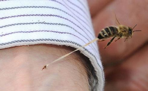 被意大利蜜蜂蛰了怎么处理(被蜜蜂蛰了是好事还是坏事)