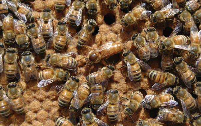 意大利蜜蜂加继箱有什么要求(意蜂双王同箱怎样加继箱?)