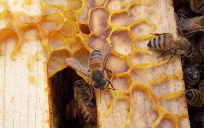 意大利蜜蜂属于蜜蜂还是黄蜂(意蜂的生产性能)