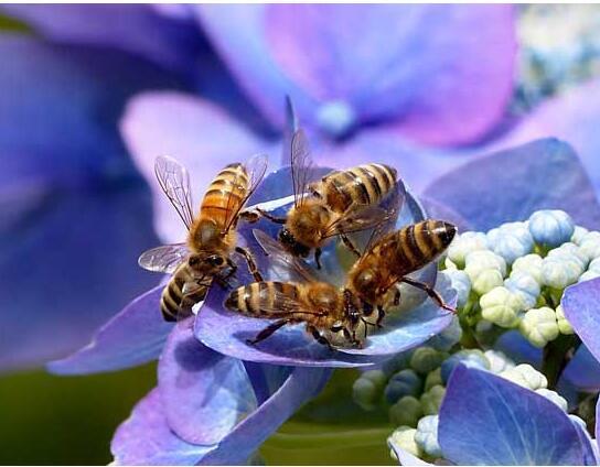 怎样驱除意大利蜜蜂(驱赶蜜蜂的最佳办法)