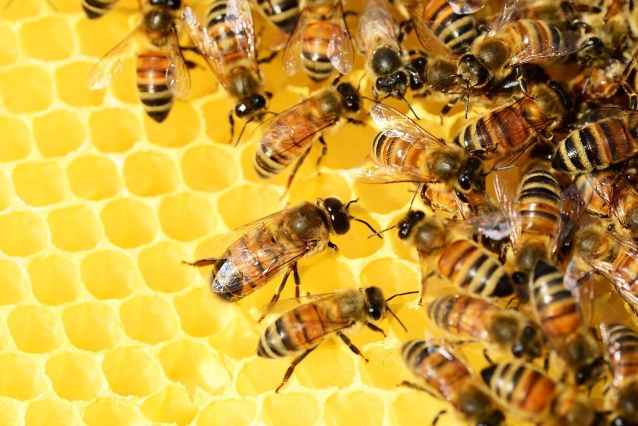 意大利蜜蜂过冬什么时候关王(意蜂过冬不关王怎么管理?)