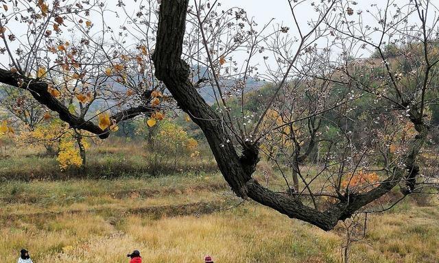 乌桕蜜树有多少个品种(乌桕种类介绍 )