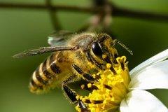 意大利蜜蜂怎样延长寿命(怎样才能够延长蜜蜂的寿命)