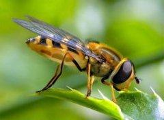 意大利蜜蜂花子病的治疗方法(怎么解决蜂巢花子问题)
