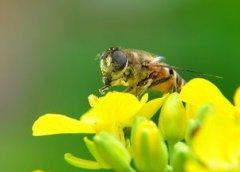 意大利蜜蜂春繁为什么会拖子(春季繁蜂,蜜蜂拖子是什么原因)