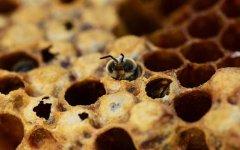 意大利蜜蜂治疗螨虫方法(意蜂治螨最有效的方法)