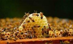 意大利蜜蜂得白垩病是怎么造成的(蜜蜂白垩病的防治方法)
