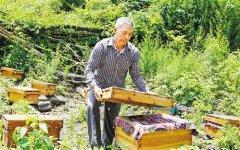 养殖意大利蜜蜂要注意什么(意蜂养殖注意事项)