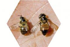 怎么捕捉意大利蜜蜂(如何在野外诱到意蜂)