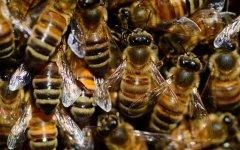 意大利蜜蜂分蜂怎么分(意蜂分蜂技术)