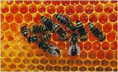 意蜂多久杀一次螨(什么是蜂螨)