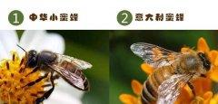 中华蜜蜂是不是叫意大利蜂呢(中蜂和意蜂的区别)